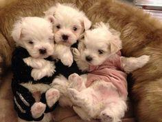 baby Maltese dogs. Makes me miss my Maltese :(