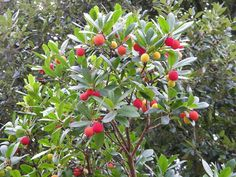 Arbousiers - Google Search