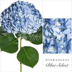 BLUE HYDRANGEA…