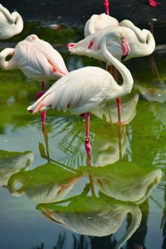 Greater Flamingo on Wild Africa Trek at Disney's Animal Kingdom in Walt Disney World by shadowdion