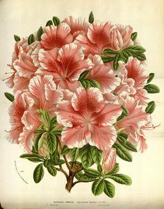 v.19 ([1873]) - Flore des serres et des jardins de l'Europe - Biodiversity Heritage Library 943 x 1206