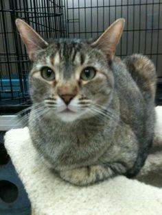 Petfinder  Adoptable | Cat | Abyssinian | Elk Grove, CA | Trista