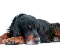 Gordon Setter- looks like the dog Tanner we had growing up