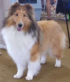 Sheltie Puppy Names Goldenacresdogs