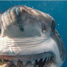 10 photos impressionnantes du Grand Requin Blanc