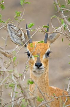 Africa | Steenbok in the bushes. Kruger National Park, South Africa | ©Bill Davies