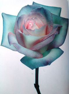 blueish pink Nick Knight Rose