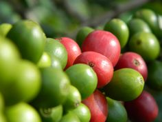 Commercial to Specialty: A Coffee Farming Success Story