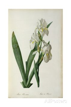 Iris Florentina, from `Les Liliacees', 1805 Pierre-Jospeh Redoute--Giclee Print