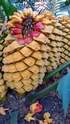 E.umbeluziensis female cones July 2015.