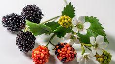 Brombeeren aus Blütenpaste, Blätter, Blüten / Gumpaste Blackberries Tuto...