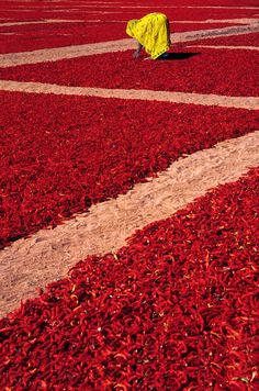 The red chili peppers drying  _ A piros chili paprika szárítása
