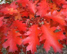 jlpn-quercus-rubra-red-oak