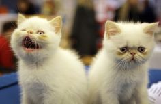 Flame Point Persians