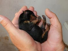 Little baby , mini Pinscher
