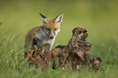 Red Fox by Calum Dickson on 500px