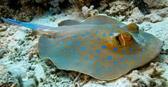 An old dive buddie in Sanur reef. http://ift.tt/1S32wwY #divebuddies #stingrays #coralreef #coral #greatbarrierreef #redsea #andaman #sipadan #palau #diveresort #seahouse #beachfront #wonderful_places #wanderlust #wonderlust #lifeisgood #zerogravity #goprohero #instagopro #vanuatu #fishing by baliseafishing http://ift.tt/1UokkV2