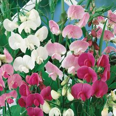Lathyrus latifolius mixed. the rambling and vining perennial sweet pea. Lathyrus Latifolius. Blooming in shades of white pink and red, they are a cottage garden favorite where they have room to grow,