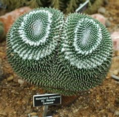 Mammillaria sempervivi.  LOL I just had to repin this even though its a cactus, not a succulent.  I mean LOOK at it!