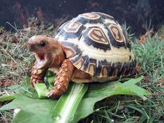 I have seen numerous suggestions for Russian tortoise diet Some great Some awful. Russian Tortoises are nibblers and appreciate broad leaf plants. Baby Tortoise, Sulcata Tortoise, Tortoise Care, Tortoise Turtle, Tortoise Habitat, Land Turtles, Cute Turtles, Beautiful Creatures, Animals Beautiful
