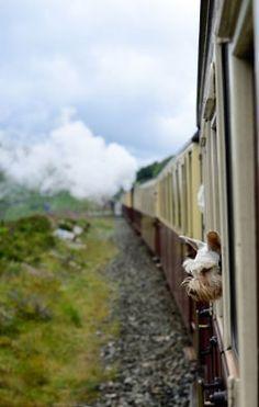 Train Ride Schnauzer <3