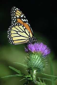 Monarch On Bull Thistle Photograph by Larry Eiss