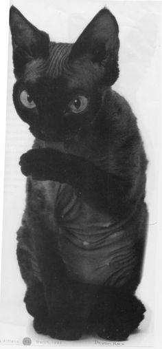 DevonRex George, the furniture tester. - #devonrex -Tops Tiny Cat Breeds at Catsincare.com!