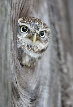 Willow Nov by Vince Jones on 500px #owl