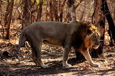 India's population of endangered Asiatic lions has increased by 27% since 2010, a great victory for the species. Found only in the Gir forest of Gujarat, the Asiatic lion (Panthera leo persica) is ...