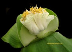 View picture of Haemanthus (Haemanthus deformis) at Dave's Garden. All pictures are contributed by our community. Famous Daves, Water Lilies, All Pictures, Lily, Community, Garden, Flowers, Plants, Garten