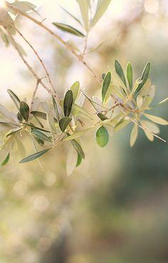 Olive tree~
