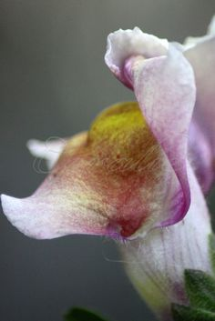Snap Dragon Flower. A micro of one of the snapdragon flowers.