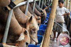 1.017 Ternak Sapi Di Inhu Terdaftar Dalam Asuransi PT Jasindo