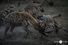 Hyenas and vultures were fulfilling their clean up duties at the giraffe carcass with tensions running high between both bird and mammal. Private Games, Game Reserve, Hyena, Mammals, South Africa, Giraffe, Bird, Running, Felt Giraffe