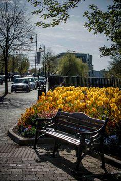 Tulips in bloom, Carlow, Ireland