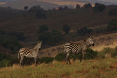 Zebras in Nyika National Park in Malawi (photo courtesy of Anne Hellersmith)