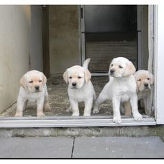 Yellow labs <3