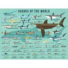 Oopsy Daisy Fine Art For Kids Sharks of The World by Daviz Canvas Art Zebra Shark, Shark Art, Whale Sharks, Weird Sharks, Funny Sharks, Weird Fish, Thresher Shark, Hammerhead Shark, Megamouth Shark