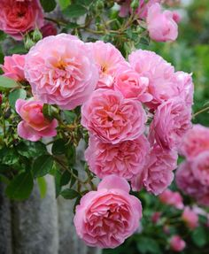 Notably hardy, tough and disease resistant, English Rose 'Hyde Hall' is a very large shrub rose, which flowers continuously throughout the summer. Shade tolerant, 'Hyde Hall' is a great choice as a boundary hedge or screen.