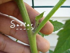 How and Why to Prune Your Tomato Plants