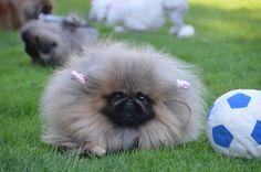 Puppies on Pinterest | Pekingese Puppies, Pekingese Dogs and Puppys