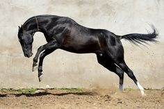 Pirop 13 - Farm stud DACOR