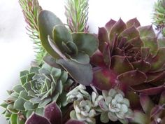 Its all about texture and color; there is no such thing as a bad combination of Sempervivum and Sedum, they all combine perfectly.  Who would have guessed that not only are these beautiful, they are also hardy succulents?