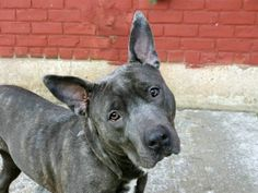 RIP ROXY!!  4/16/14 Brooklyn Center -P  My name is ROXY. My Animal ID # is A0995957. I am a female gr brindle and white pit bull mix. The shelter thinks I am about 2 YEARS   I came in the shelter as a OWNER SUR on 04/07/2014 from NY 11223, owner surrender reason stated was PERS PROB. https://www.facebook.com/photo.php?fbid=784525308227017&set=a.611290788883804.1073741851.152876678058553&type=3&theater
