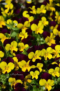Pansies, now is the time to plant.