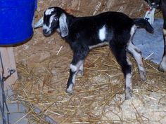 Land of Havilah Farm - naturally raised Nubian Dairy Goats in south central Michigan, this woman has some great info!