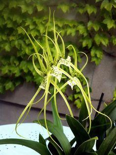 Brassia Verrucosa Orchid | Brassia verrucosa | Orchids | Pinterest