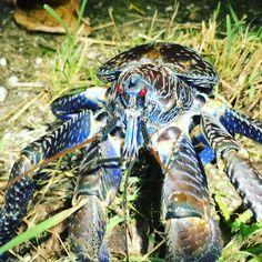 Palmyra Coconut Crab - The Nature Conservancy Under The Water, Under The Sea, Coconut Crab, Palmyra, Life Photo, Ocean Life, Marine Life, Sea Creatures, Amazing Nature