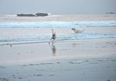 From our i Love Labradors Photo Contest:  Labs running along the dog beach