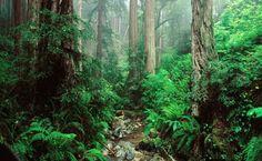 Redwoods HD Wallpaper